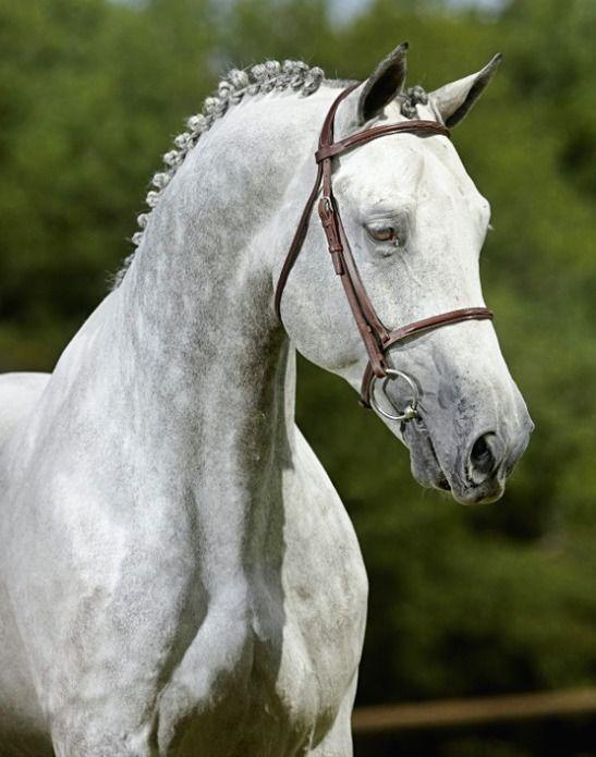 BWP Belgian sport horse stallion, Charles de Gaulle. Portrait.