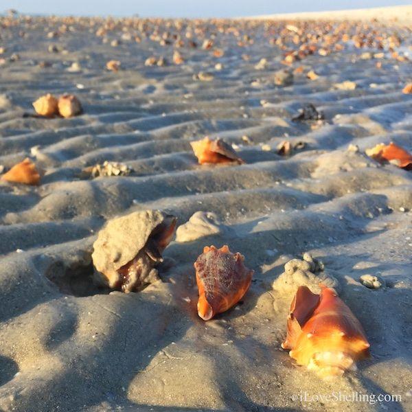 fighting conch shells invade the sanibel beach, 2/15