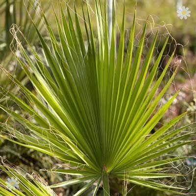 nice Mediterranean Giant Washingtonia Cotton Palm 1.5M tall