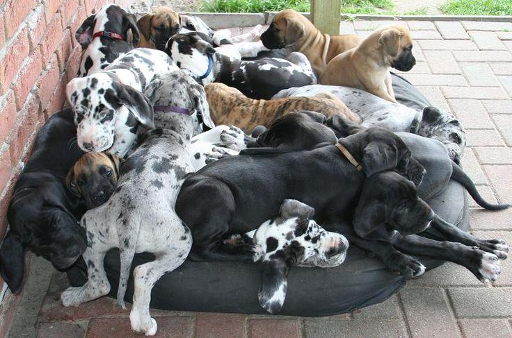 deutsche dogge | amliebsten liegen alle 16 Welpen zusammen in einem Hundebett, egal wie ...