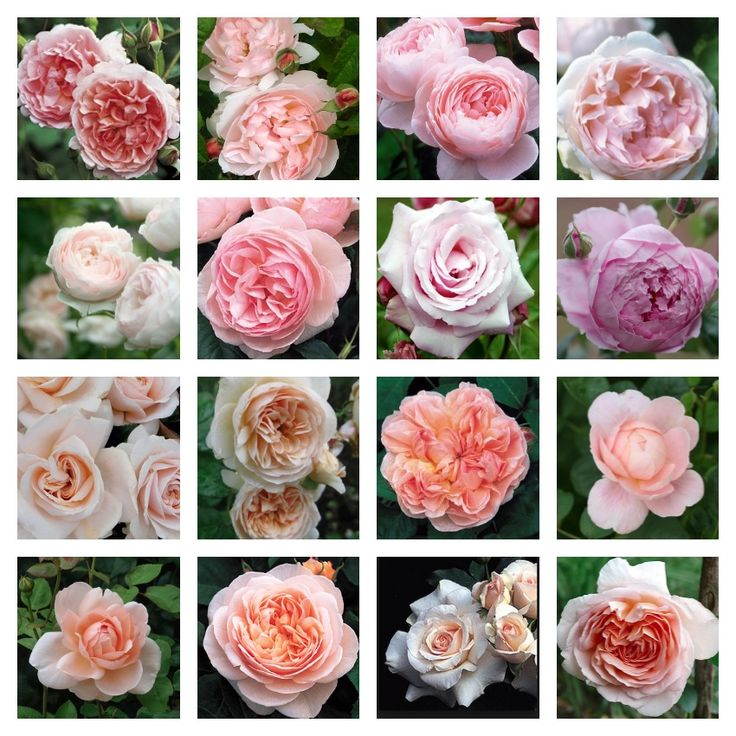 David Austin Roses - shades of pink roses, some vintage varieties, from French Essence blogspot. For the cutting garden...
