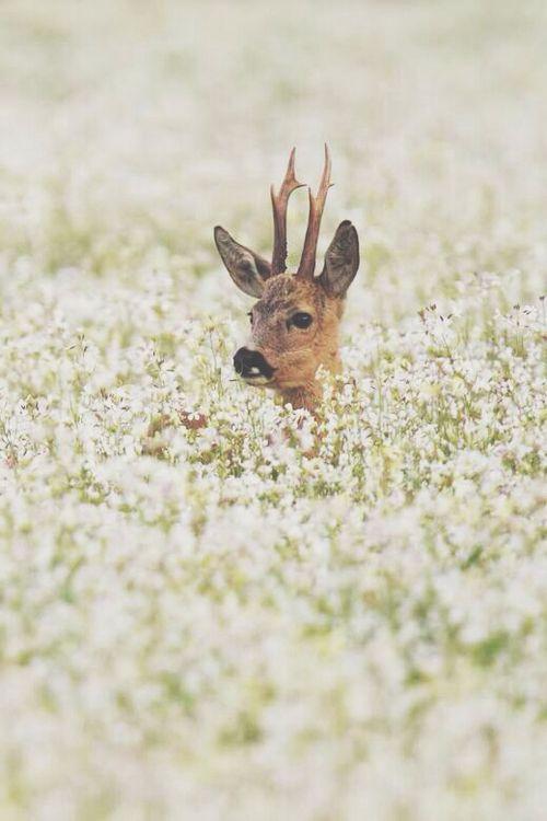 Lonely deer amongst a field of flowers