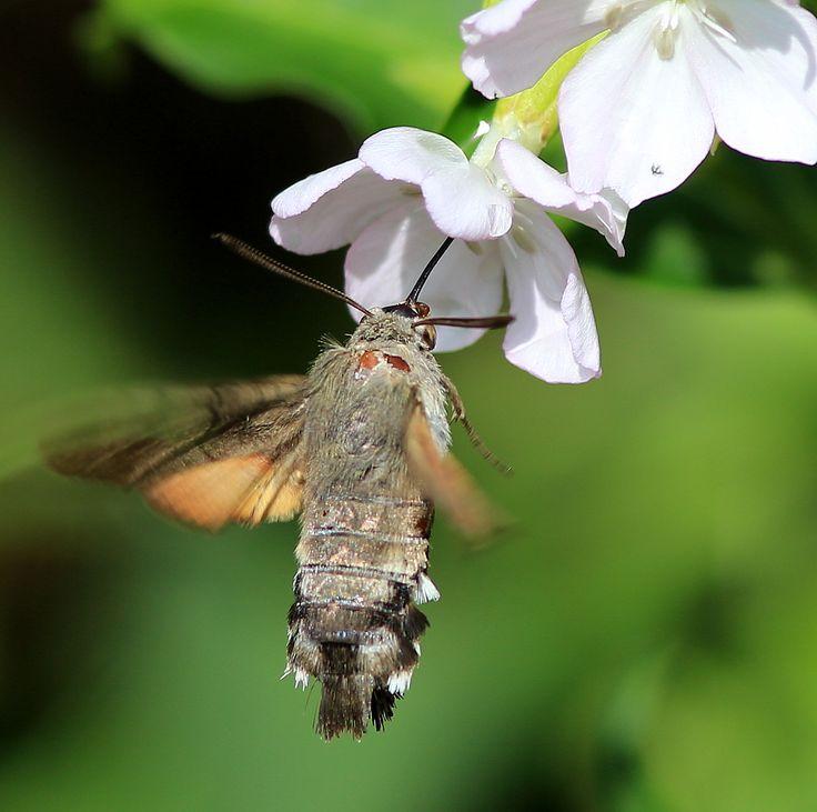 kolibrie-vlinder in onze tuin