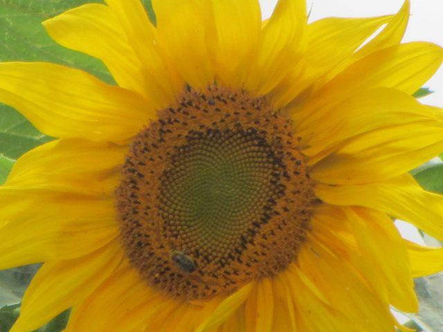 #farm #fresh #sunflower #epbzr | Zoom lens, Digital zoom ...