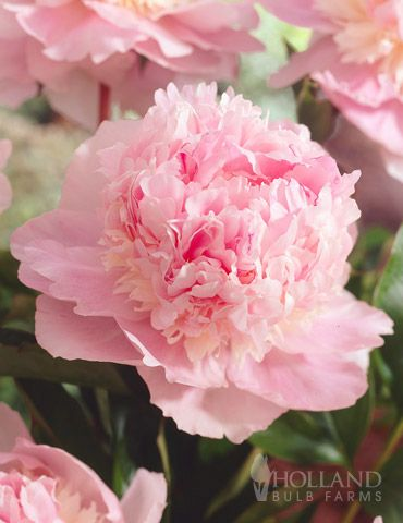 """Eden's Perfume Peony -- heavenly scented large pink blooms,  considered to be one of the most fragrant peonies, with a Damask rose fragrance. The large double blooms can be up to 6-7"""" across and are covered with frilly pink petals. it's structure is ideal too, as it is a compact grower that has strong stems perfect for cutting! Perennial in Zones 4 - 8. bulb size 3-5 eyes."""