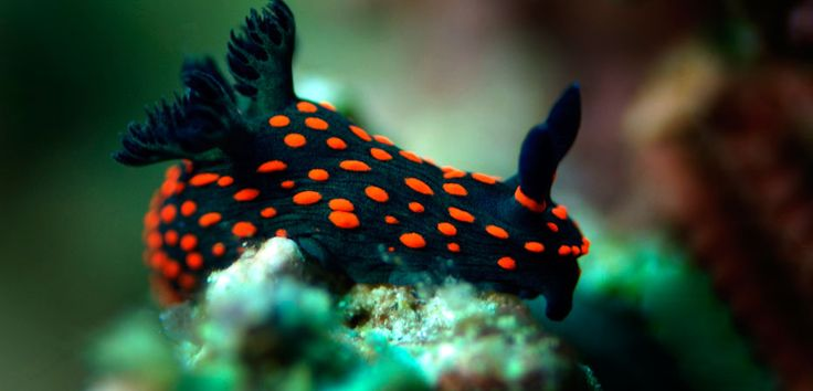 A black nudibranch dotted with bright zits is crawling on its feeding ground. A nudibranch is a shell-less snail growing strapping 'branches' on its back.