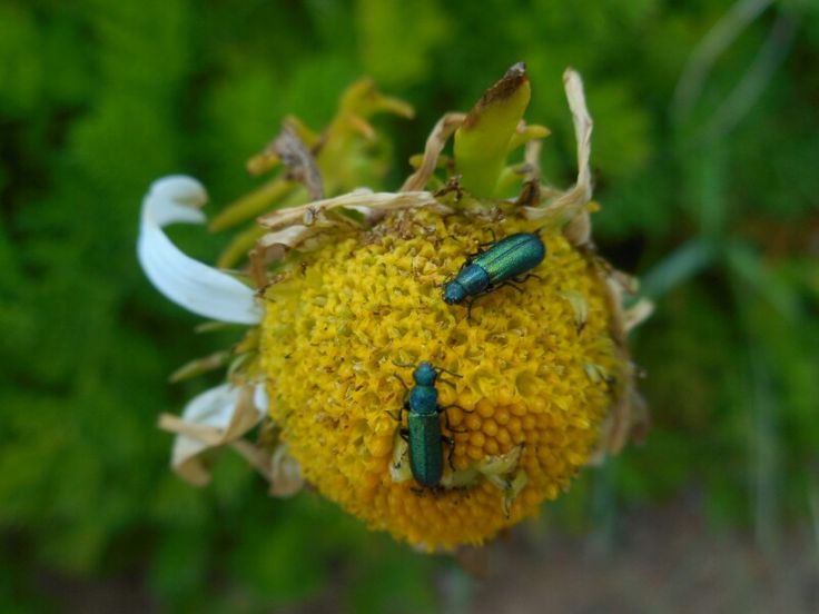 Beetles on Dog Daisy. Knockadoon coast. Co. Cork