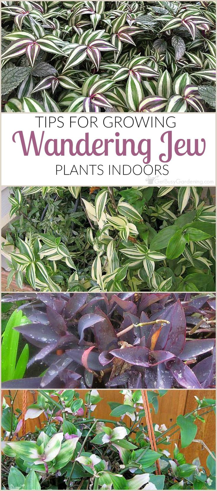 25 best ideas about wandering jew on pinterest outdoor for What plants can i grow indoors