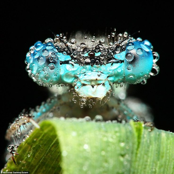 Droplets of water bead on the head of this blue dragonfly as it slumbers on a leaf