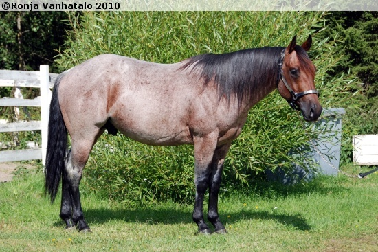 bay roan - Quarter Horse stallion Wireless Lan