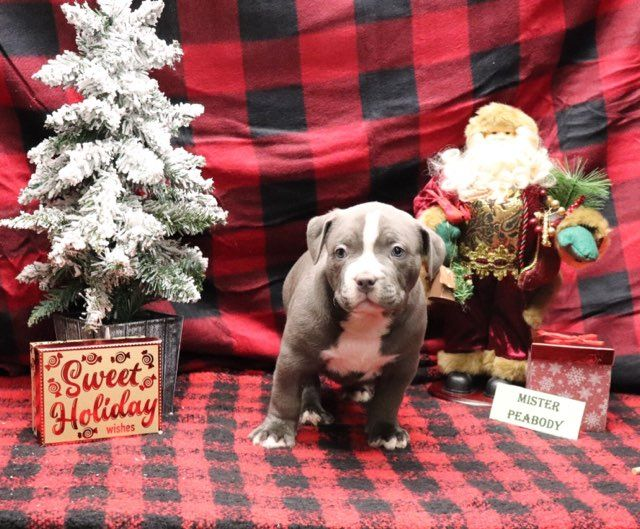 Mr Peabody Ukc Xl American Bully Puppy For Sale Near Decatur