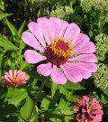 8 Awesome Annuals that Love Hot and Dry Conditions