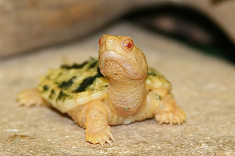 Albino baby snapping turtle.