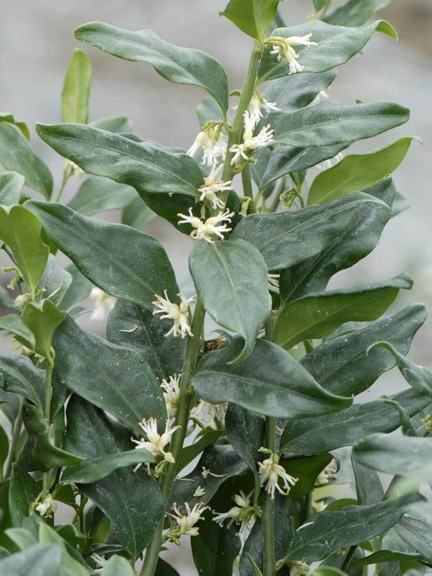 sweet box  sarcococca ruscifolia  dry shade slow growing