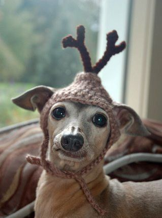 I didn't put this thing on my head..stop laughing!  The adorable Italian Greyhound Sweet Pea.