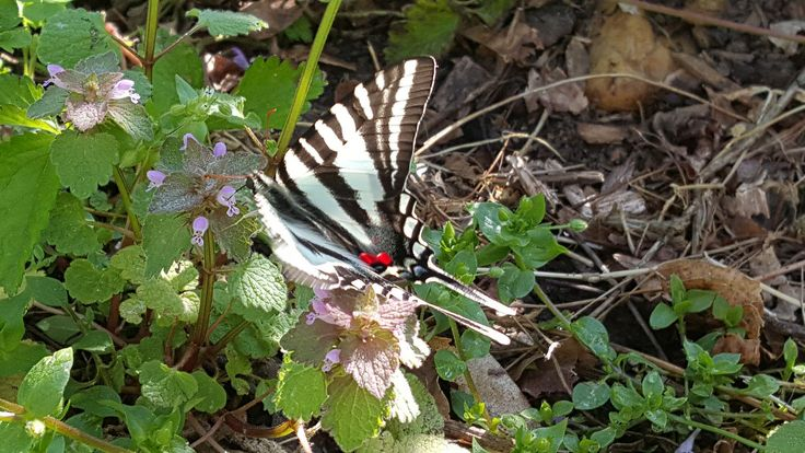 Zebra Swallowtail Butterfly   Flickr - Photo Sharing!
