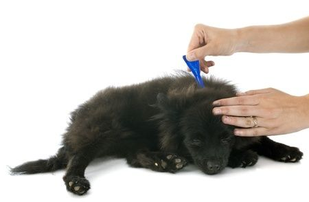 Are Topical Flea Preventatives Losing Their Effectiveness?