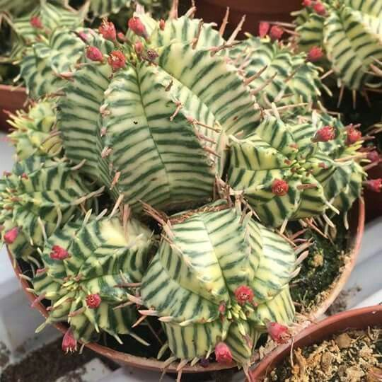Euphorbia meloformis variegated exotic plants 7 uncommon indoor plants