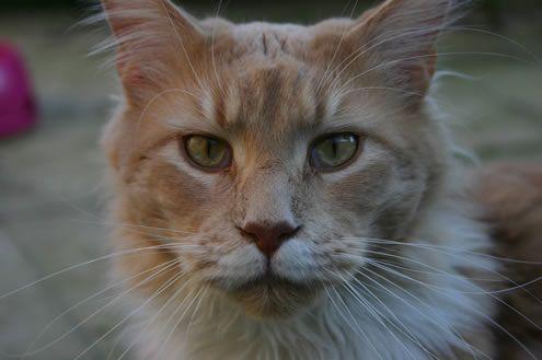 #MaineCoon #Creme #Solid #White #Cats Kassaro Monty Christo