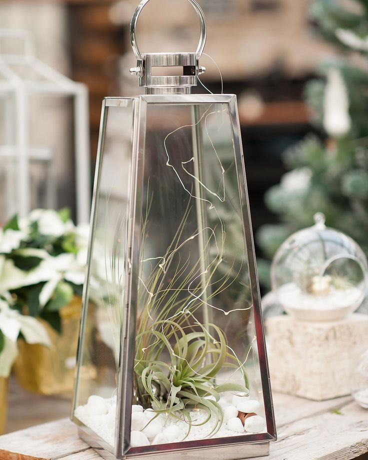 ♥️ These tillandsia are at home in this gleaming silver lantern terrarium, complete with ✨ battery operated twinkle lights to shine brightly all evening long!!!