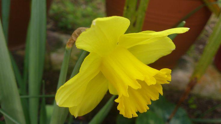 Κίτρινος Νάρκισος !!! Μάρτιος 2017 !!!!