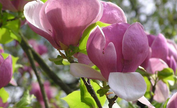 Die Purpur-Magnolie (Magnolia liliflora 'Nigra') ist eine der Standard-Sorten auf dem deutschen Markt und vor allem für kleine Gärten in spätfrostgefährdeten Lagen zu empfehlen. Sie blüht erst Ende April und bildet eine relativ dichte, kompakte Krone mit vier Metern Höhe und Breite. Die purpurfarbenen Blütenblätter sind innen hellrosa bis weiß gefärbt.