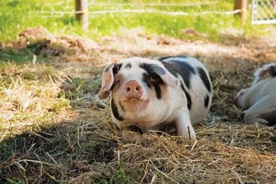 Guide to Heritage Hog Breeds -- Wallow around with these five heritage hog breeds.