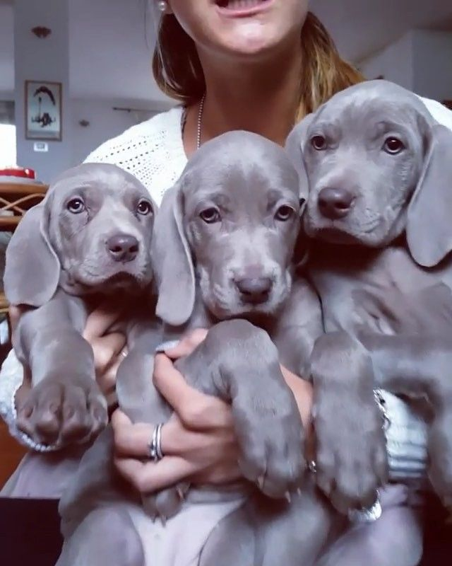 Just Take Moment To Appreciate These Absolutely Gorgeous Weimaraner Puppies Argentovivosilversideoft Weimaraner Puppies Cute Dogs And Puppies Cute Animals