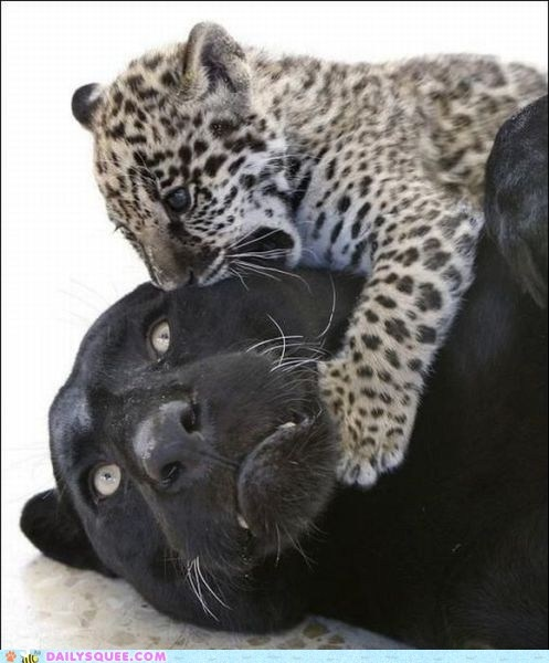 the black leopard's face is priceless!!!