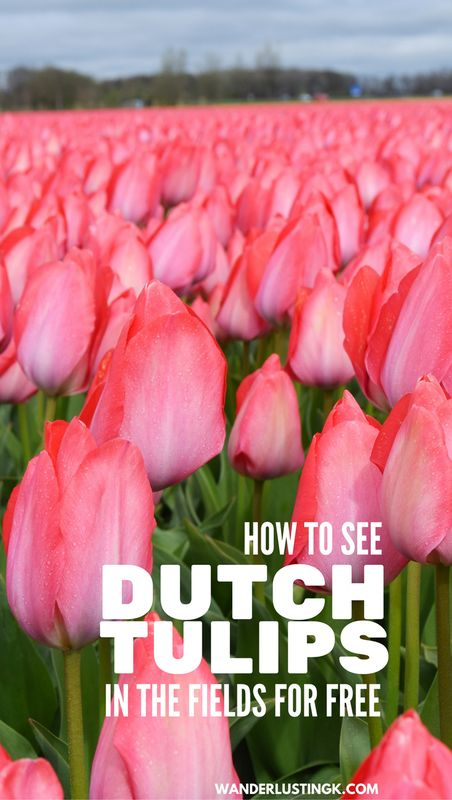 5 Steps to Guarantee that you'll see the tulips When you visit the Netherlands in Spring. Written for nature lovers on a tight budget with Dutch budget travel tips.