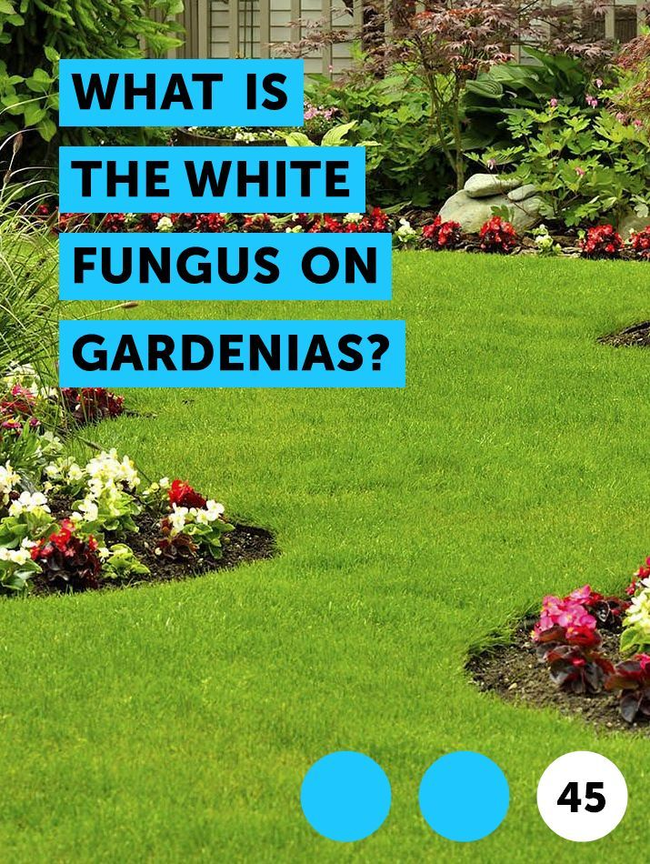 What Is The White Fungus On Gardenias With Images Gardenia