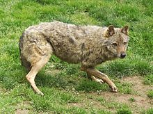 Eurasian wolf, common wolf or Middle Russian forest wolf. It was held in high regard in Dacian, Baltic, Greek, Roman and Celtic cultures, whilst being demonised in the Germanic tribes. - Wikipedia