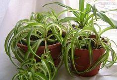 Как ухаживать за комнатным растением хлорофитум хохлатый  Источник: http://www.pro100-cvety.ru/xlorofitum-xoxlatyj/ © www.pro100-cvety.ru