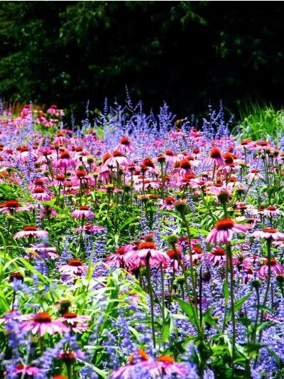 I always combine my Coneflower & Russian sage for a beautiful background.