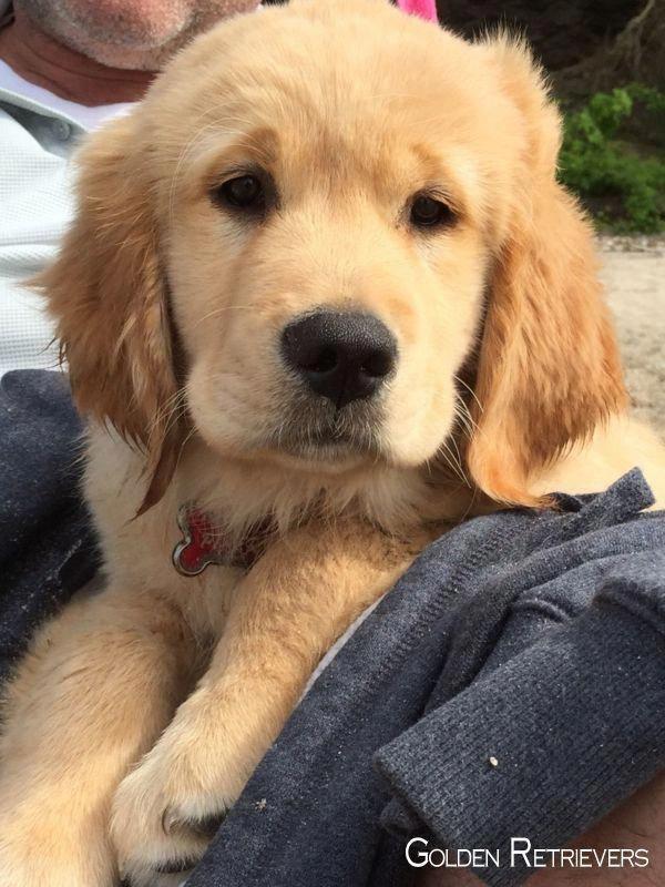 Discover The Friendly Golden Retriever Pups Temperament