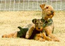 Jack, Riley and Rose Airedale Friends Photo Gallery