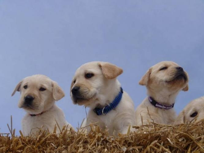yellow lab | Labrador Puppies - Yellow Labs for sale in Stirling, Ontario ...