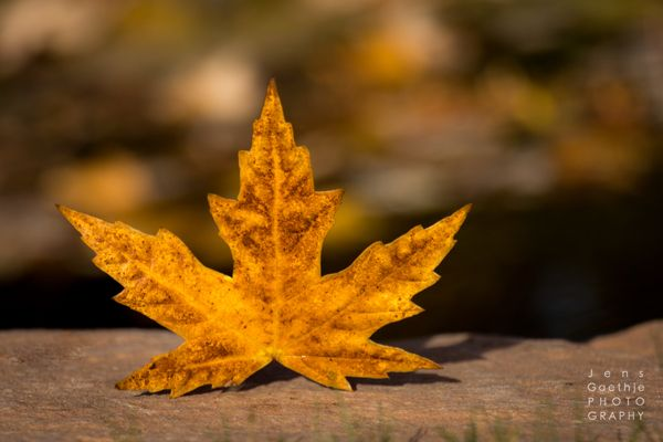 Maple Leaves by the pond in Autumn  #orange #autumn #fineart #photography #Canada  jensgaethhjephotography.com