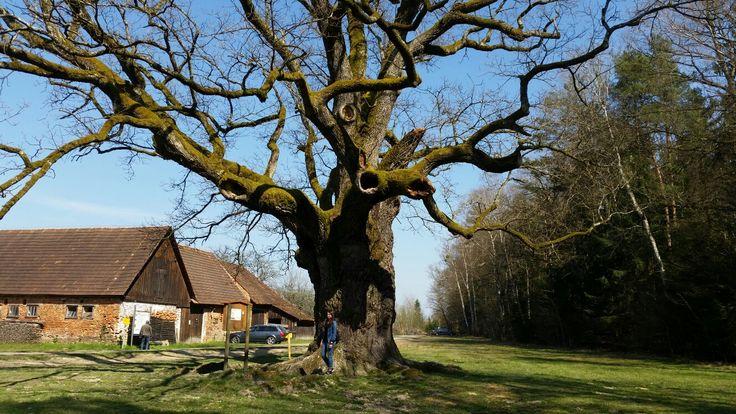 Austria, Styria  1000 jährige Eichenbaum