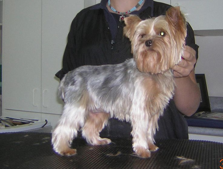 Medium Yorkie haircut with scissored furnishings and a teddy bear head.