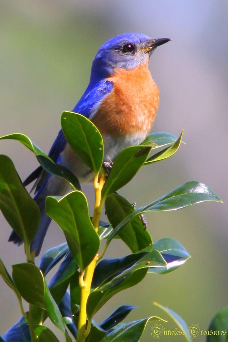 90 best blue birds images on pinterest blue bird backyard birds