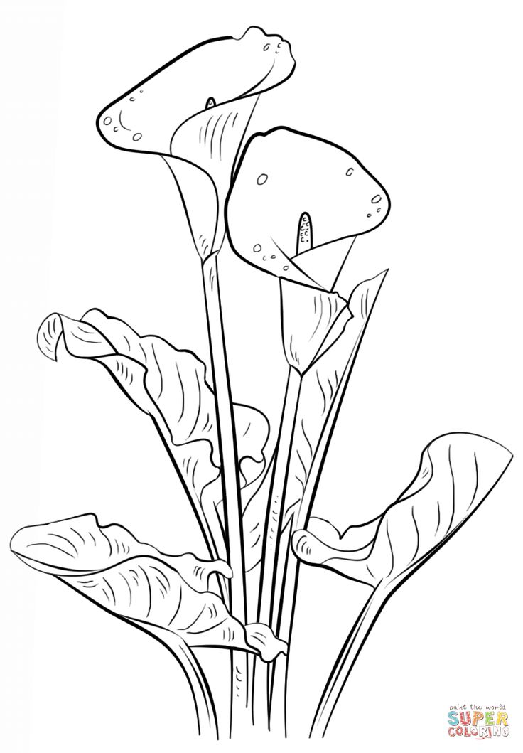 Calla Lily coloring page | Free Printable Coloring Pages