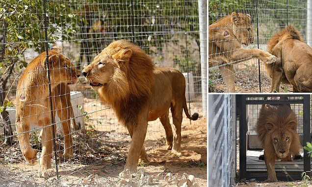 33 lions rescued from circuses are airlifted to South Africa sanctuary #DailyMail