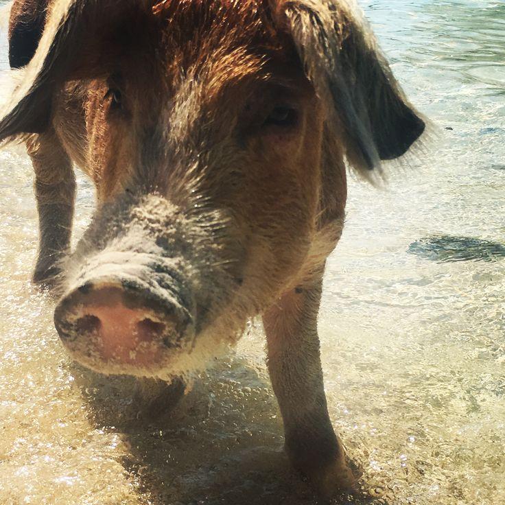 Swimming pigs at Exuma Islands