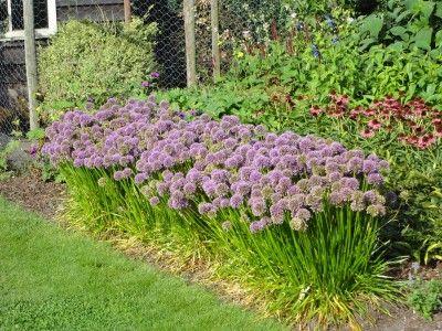 Allium lusitanicum 'Summer Beauty' | Perennials ...