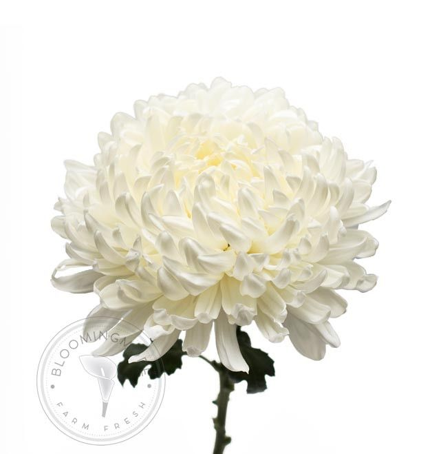 Bloomingmore farm-direct Football Mums are sustainably grown in Ecuador and Colombia and available in a wide variety of hues to add rich meaning and delightful color to any occasion. Mums are the perf