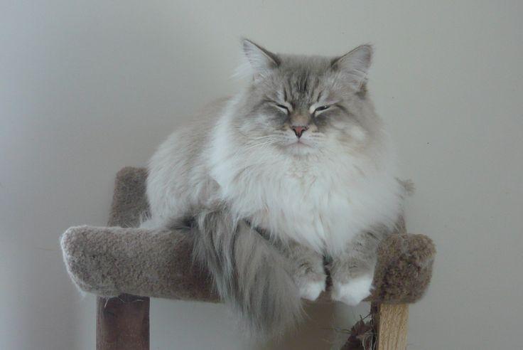 Siberian cat Neva masquerade- siberuss.ca