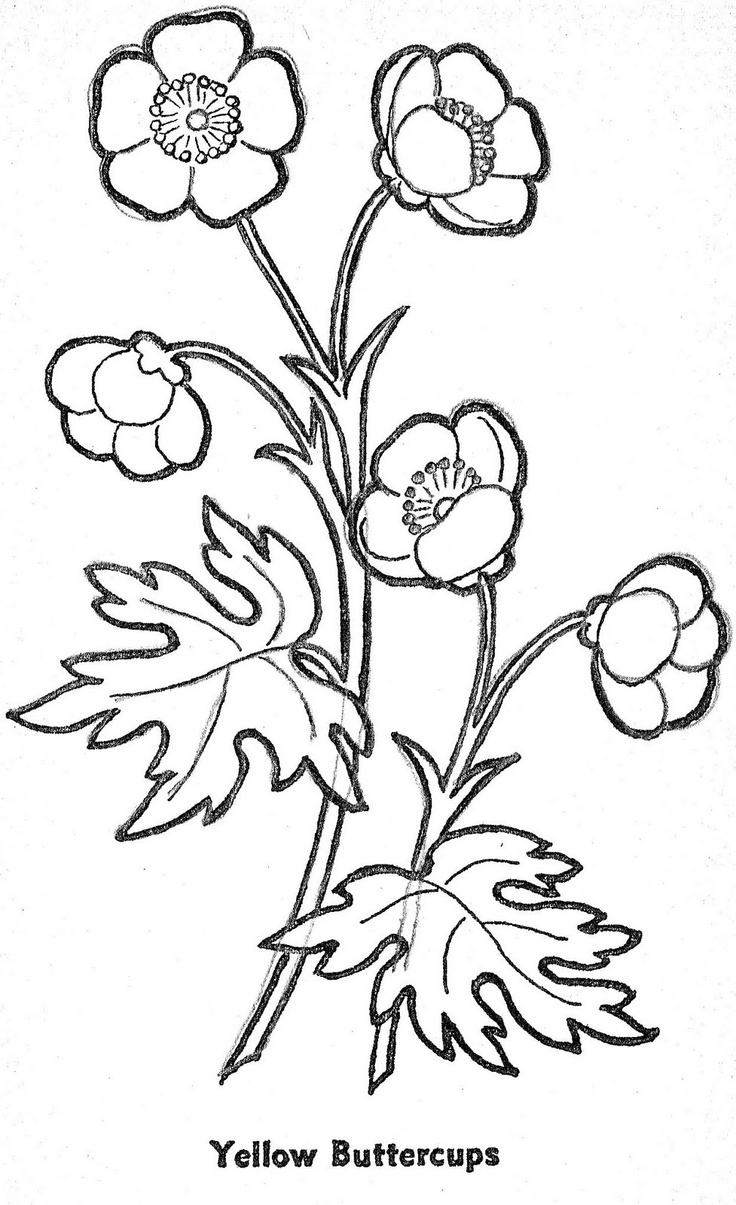Buttercup Flower Coloring Pages
