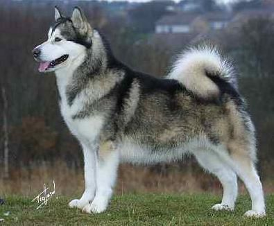 Can't wait to get another Malamute. Been too long since Odin.                                                                                                                                                                                 More