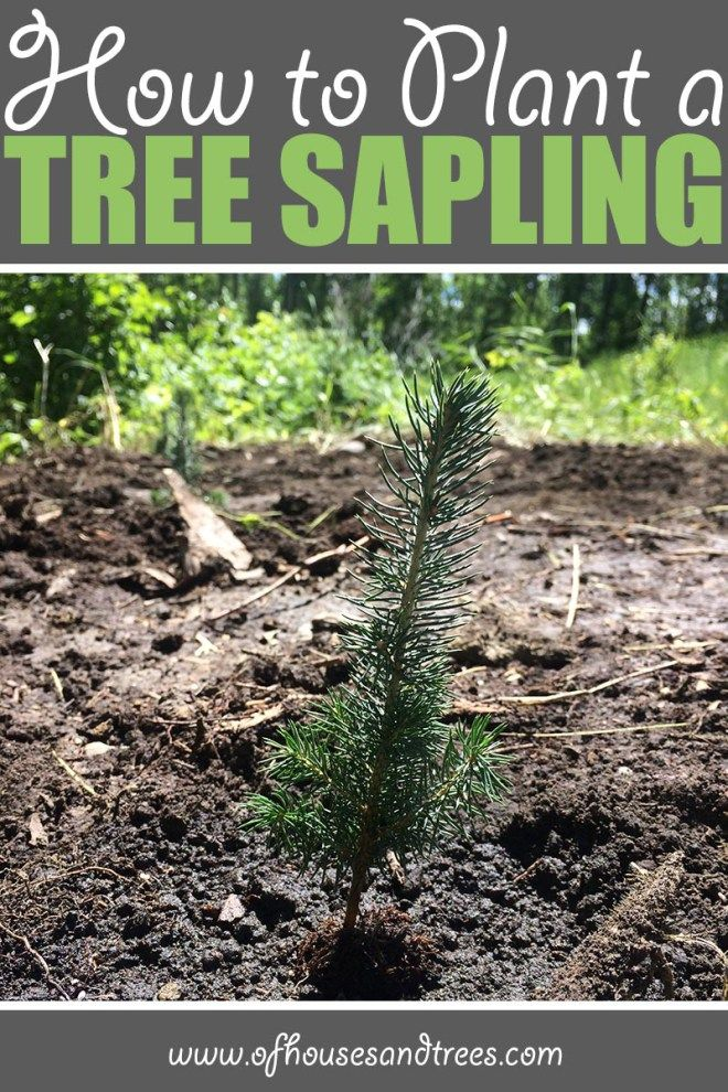 Planting a Sapling | There's nothing like planting a sapling. They're so tiny, it's almost unimaginable one day they'll be towering trees. But with proper care - they will! Click through to read more on this project as well as posts about architecture, interior design and sustainability at www.ofhousesandtrees.com.